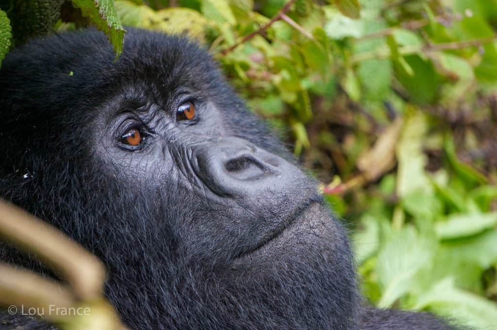 Gorilla close up but how difficult is it to trek with Gorilla in Rwanda?